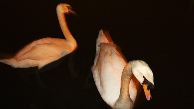 Swans in darkness