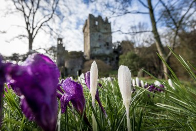 Crocus Flowers and Blarney Castle
