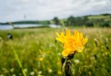 Dandelion in the field