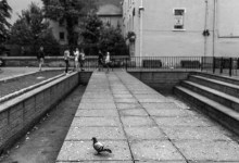 Pigeon in Bishop Lucey Park
