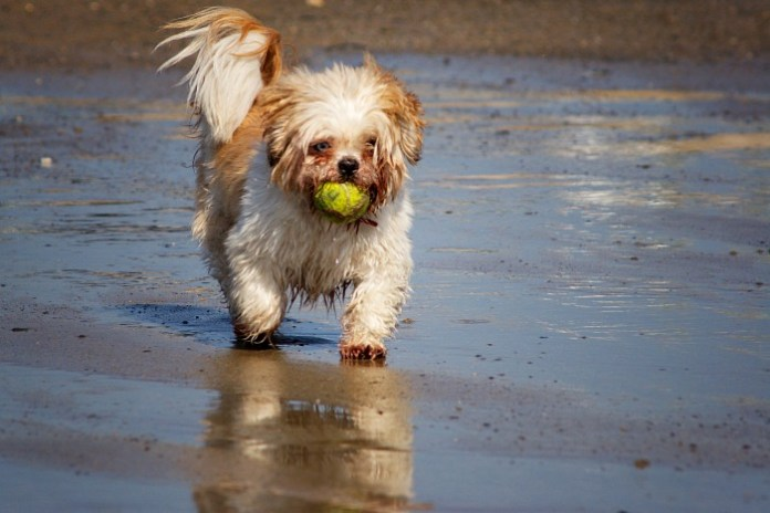 Shih Tzu playing ball on the beach