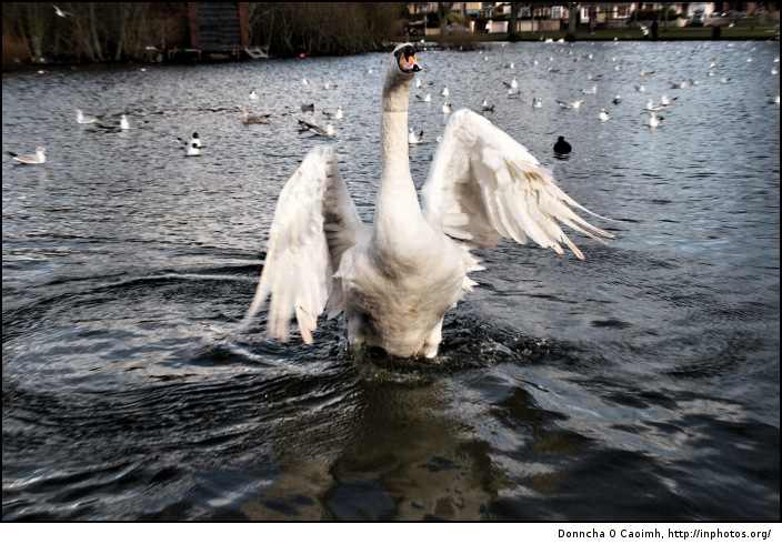 The Swan's Wings