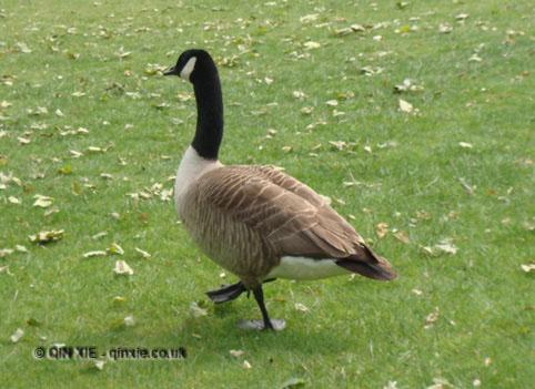 Goose waddling