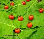 Tomatoes in vinegar, Azurmendi, Vizcaya