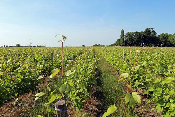 Vineyards, Domaine Bourillon Dorléans, Vouvray