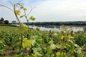 Vineyards by the river, Eric Morgat, Anjou