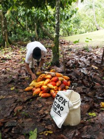 Gathering cocoa pods, Loma Sotavento Cacao plantation, Dominican Republic