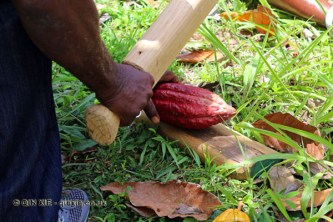 Cracking open cocoa pods, Belmont Estate, Grenada