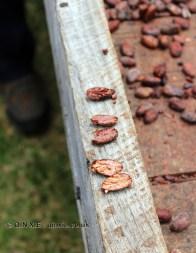 Open cocoa bean, Belmont Estate, Grenada