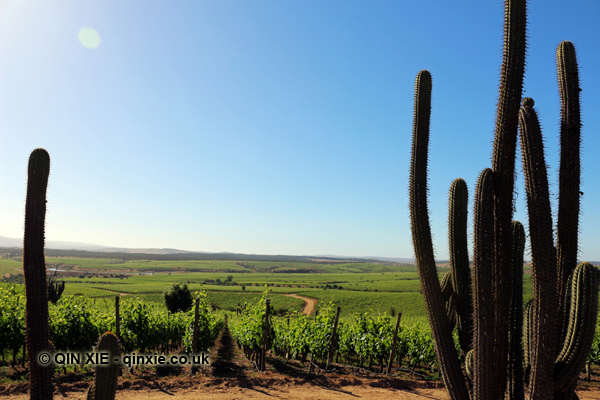 the-vines-survive-among-the-cacti