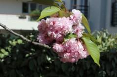 5 Cherry Blossom 2 PP