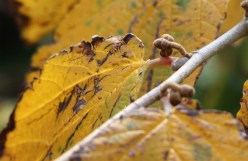 Witch hazel leaf in autumn with all its golds and browns