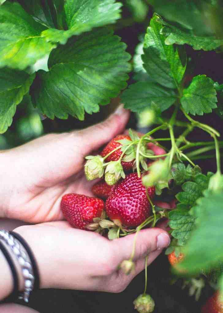 Wohletz Farm Strawberries