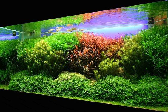 Aquarium besar: Aquascape Dutch Style