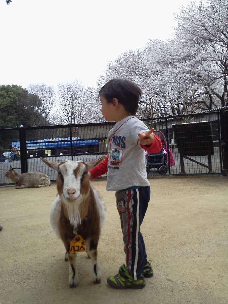Cherry Blossoms at Chikozan Park Children's Zoo   SAYAMA