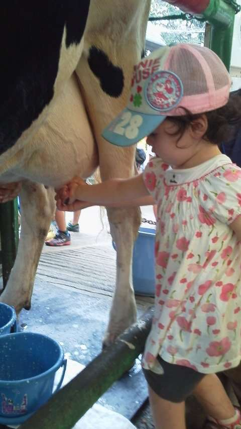 cow milking at Saitama Children's Zoo