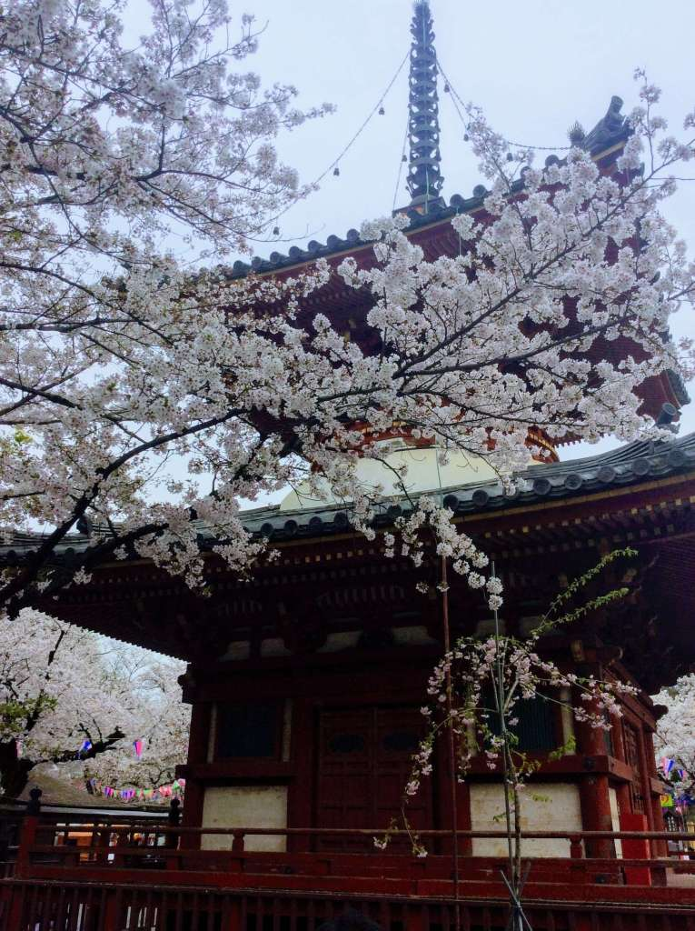 Cherry blossoms kitain pagoda