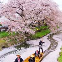 Cherry Blossoms Shingashi River 2021 | Kawagoe