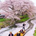 Hikawa shrine shingashi river cherry blossoms