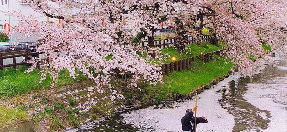 Hikawa shrine shingashi river cherry blossoms