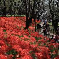 Gongendo park spider lily information for 2021