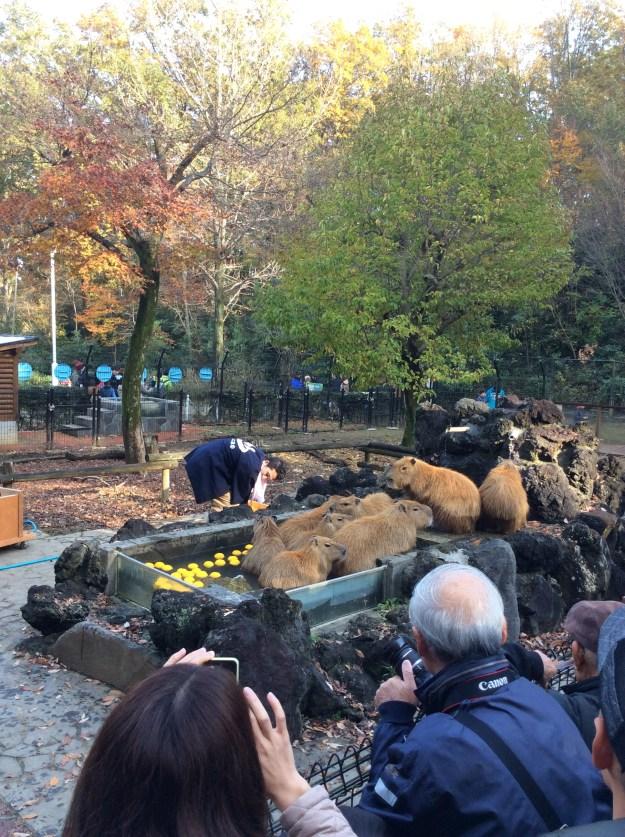 Capybara Onsen at Saitama Children's zoo aka Saitama Children's Animal Nature Park