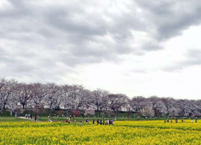gongendo cherry blossoms