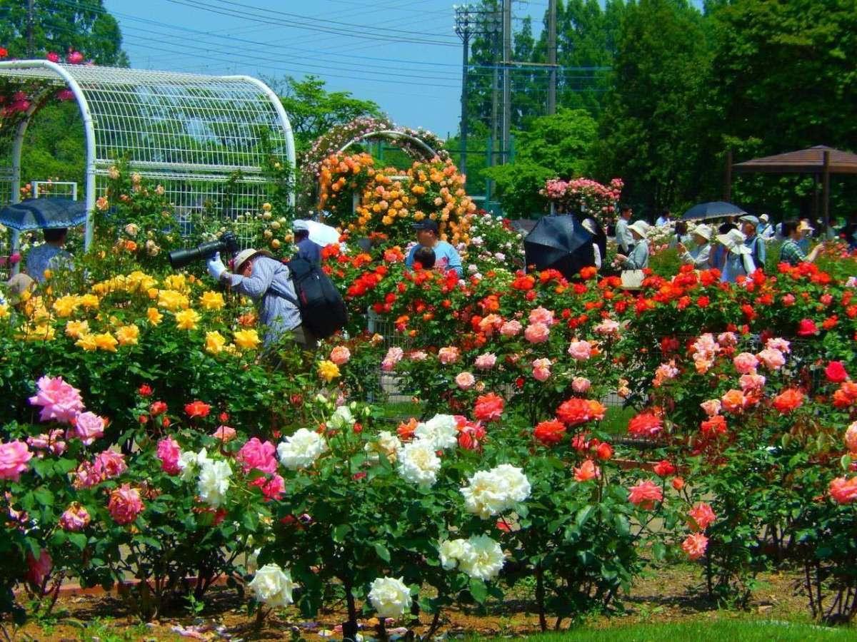 Ina Rose Festival | INA MACHI
