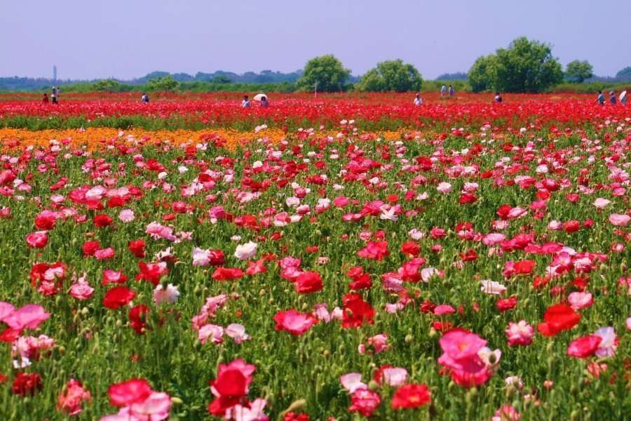 Konosu Poppy Fields