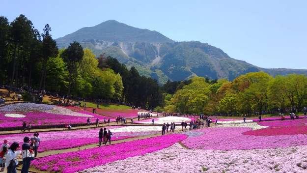 Stunning Shibazakura Moss Phlox at Hitsujiyama Park | CHICHIBU