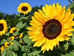 Tokorozawa sunflower