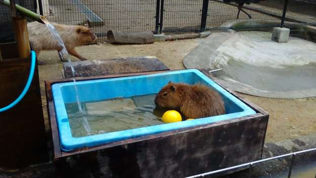 Chikozan Capybara Onsen