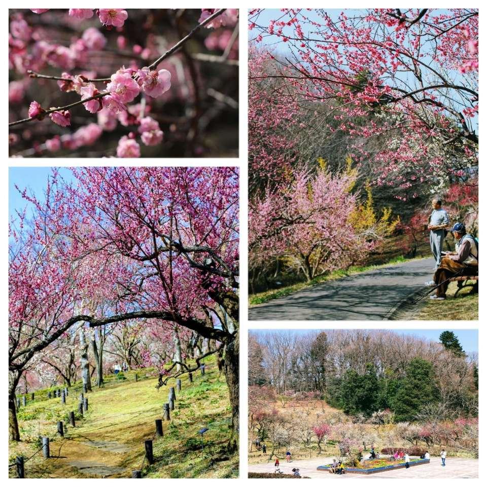 Plum Blossoms at Shinrin Park   NAMEGAWA