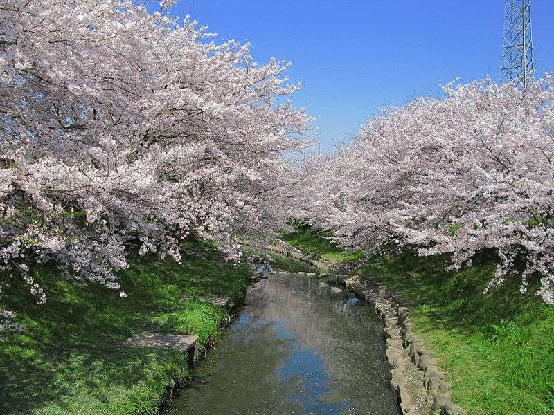 Motoara River Cherry Blossom Festival and boat ride | KONOSU