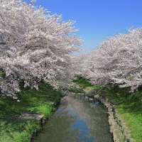 Motoara River Cherry Blossom Festival and boat ride