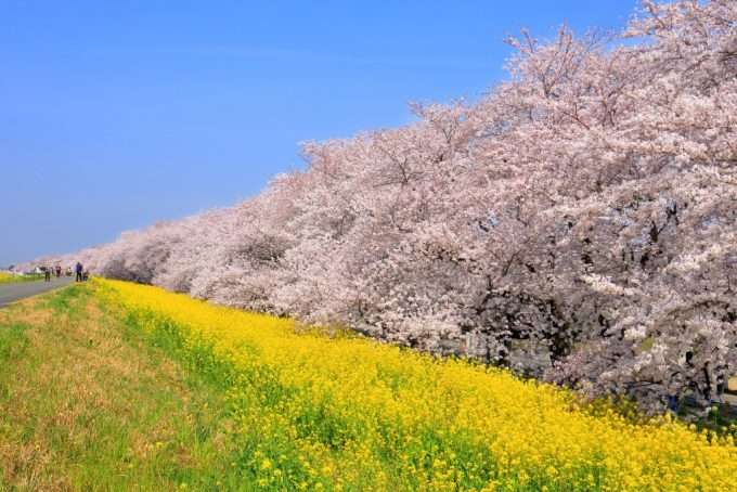 kumagaya sakura and rapeseed