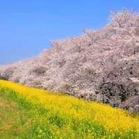 Kumagaya Cherry Blossom Festival | KUMAGAYA