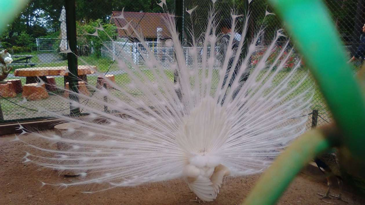 White peacock at Musahi no Mura Kazo