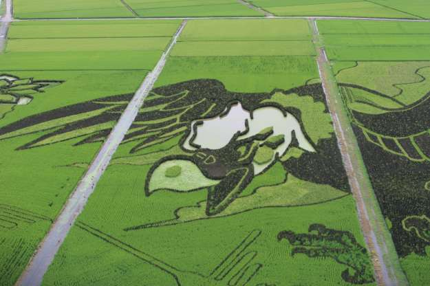 Condor Rice Paddy Art Gyoda