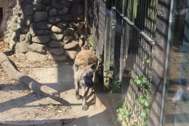 Hyena at Omiya Park Zoo