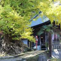 Shoboji Temple's Legendary Gingko Tree