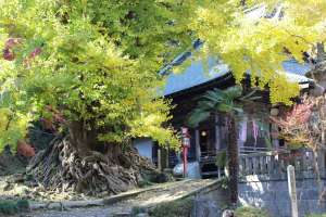 Shoboji's Legendary Gingko Tree | Higashimatsuyama