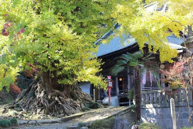 Shoboji's Legendary Gingko Tree