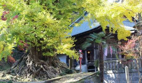 Shoboji's Legendary Gingko Tree