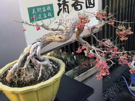 Bonsai Seikouen saika bonsai