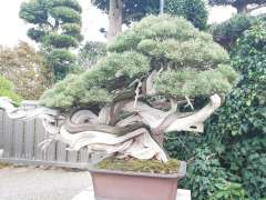 bonsai festival