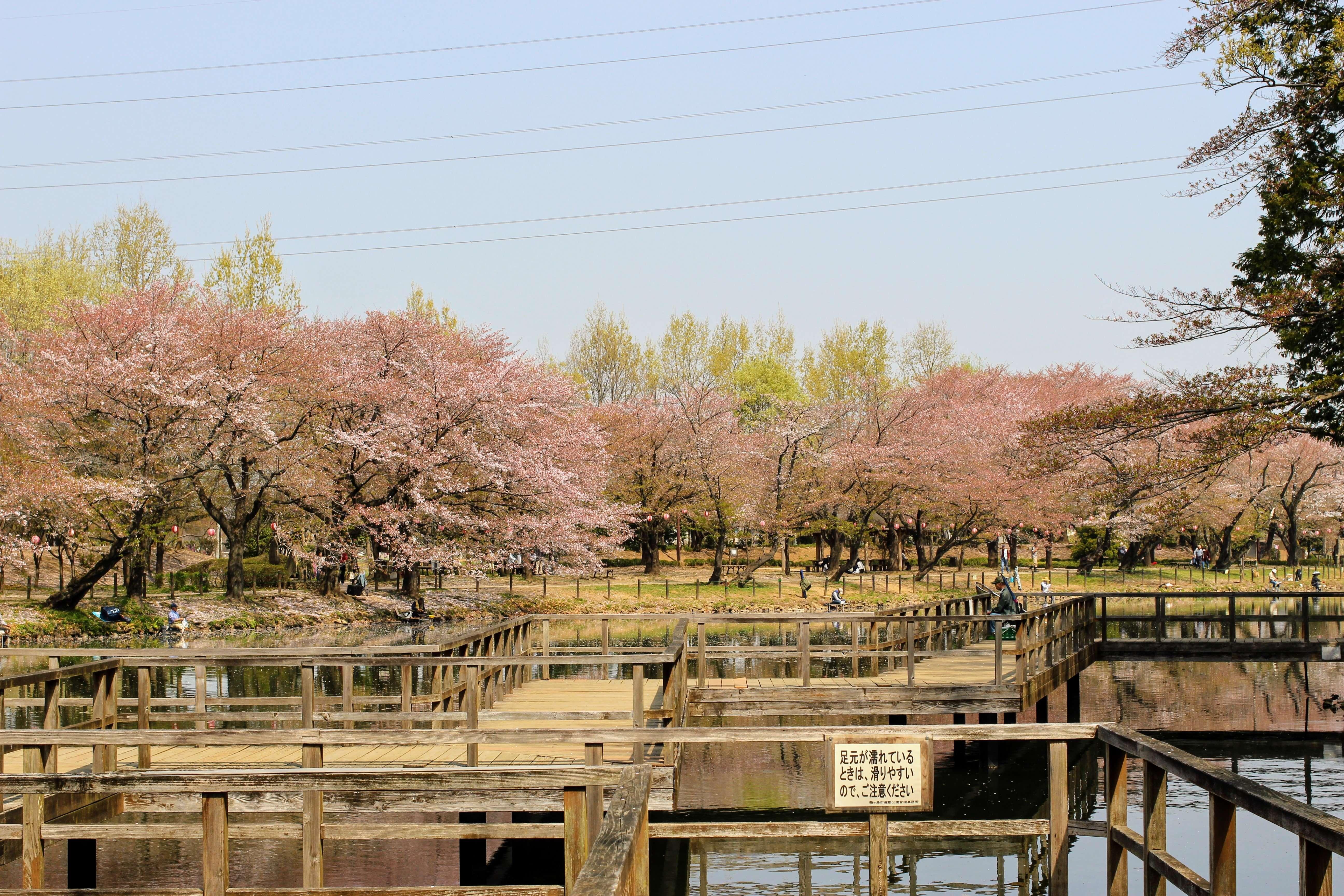 Tsurugashima Cherry blossom festival