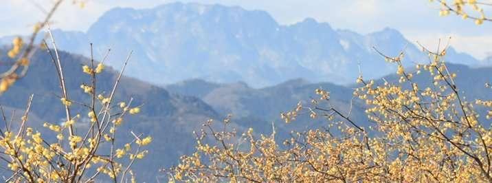 Nagatoro wintersweet