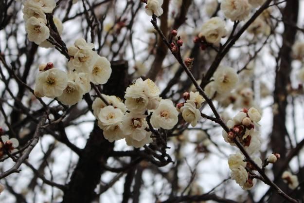 Plum blossom near the kawajima swans