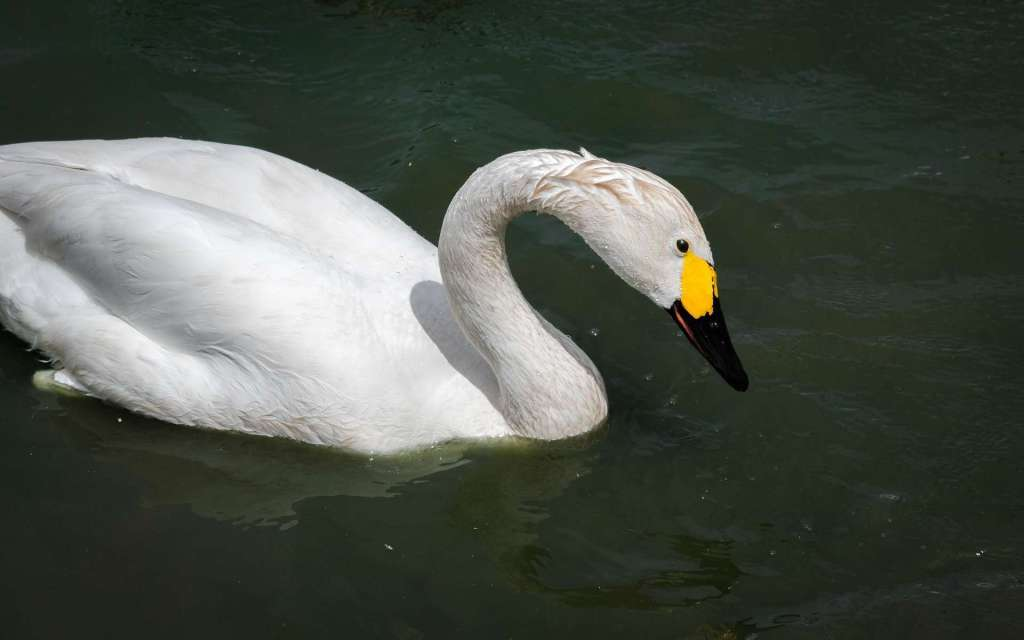 Kawajima swans tundra swan whistling swan
